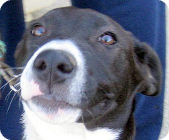 Border Collie/Labrador Retriever Mix Puppy for adoption in Oakley, California - Daisy