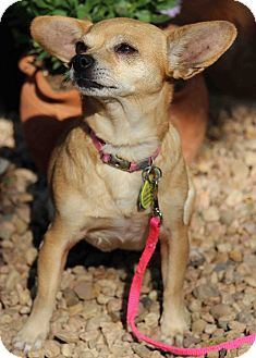 Chihuahua Mix Dog for adoption in Westminster, Colorado - Sweet Pea