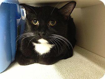 Domestic Shorthair Cat for adoption in Warren, Michigan - Magic