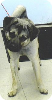 Pug/Beagle Mix Dog for adoption in Washington Court House, Ohio - DJ