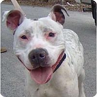 Adopt A Pet :: Halo - Accord, NY