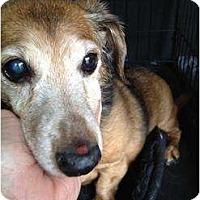 Adopt A Pet :: Sheba - Killingworth, CT