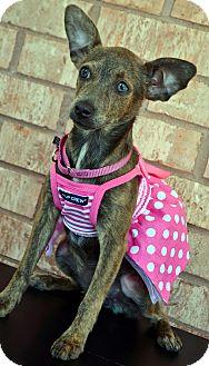 Chihuahua/Miniature Pinscher Mix Puppy for adoption in Bridgeton, Missouri - Jade-Adoption pending