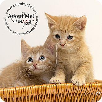 Domestic Shorthair Kitten for adoption in Troy, Ohio - Sam