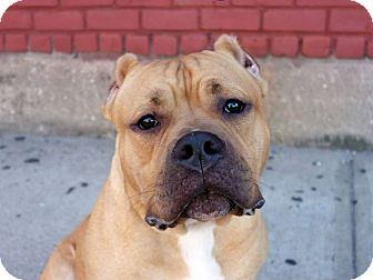 Pit Bull Terrier Mix Dog for adoption in Wethersfield, Connecticut - Neno