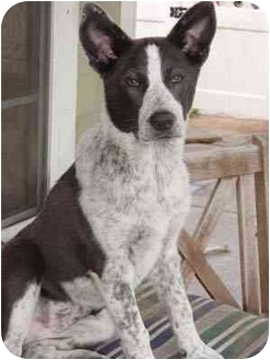 Australian Cattle Dog/Blue Heeler Mix Puppy for adoption in Houston, Texas - Emily