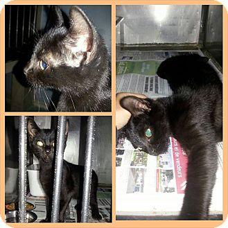 Domestic Shorthair Kitten for adoption in THORNHILL, Ontario - Simon