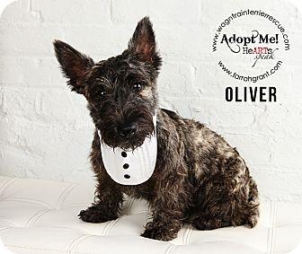 Scottie, Scottish Terrier Puppy for adoption in Omaha, Nebraska - Oliver-Pending Adoption