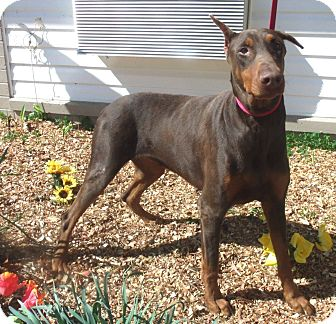 Doberman Pinscher Dog for adoption in Arlington, Virginia - Duchess