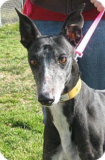Greyhound Dog for adoption in Randleman, North Carolina - Barbie