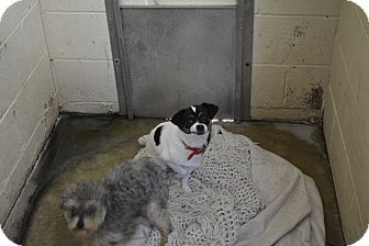 Miniature Poodle Dog for adoption in Freedom, Pennsylvania - Katie