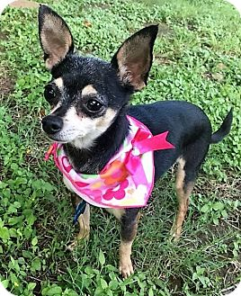 Chihuahua Mix Dog for adoption in AUSTIN, Texas - Brie