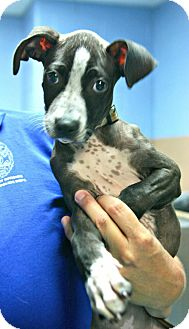 Pit Bull Terrier Mix Puppy for adoption in Lufkin, Texas - Lilo