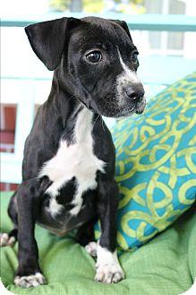 Boxer/Labrador Retriever Mix Puppy for adoption in Staunton, Virginia - Rousey
