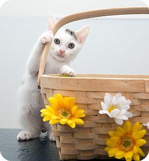 American Shorthair Kitten for adoption in Brooklyn, New York - Foster