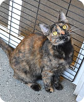 Abyssinian Cat for adoption in Michigan City, Indiana - Dedra