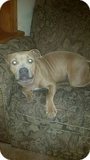 American Pit Bull Terrier Dog for adoption in Enid, Oklahoma - Mocha