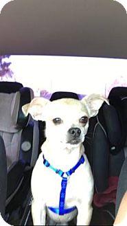 Pug Mix Puppy for adoption in Huntington Beach, California - Goblin