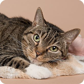 Domestic Shorthair Cat for adoption in Wilmington, Delaware - Chauncy