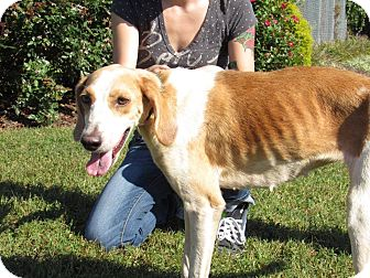 Treeing Walker Coonhound Mix Dog for adoption in Windsor, Virginia - Yarts