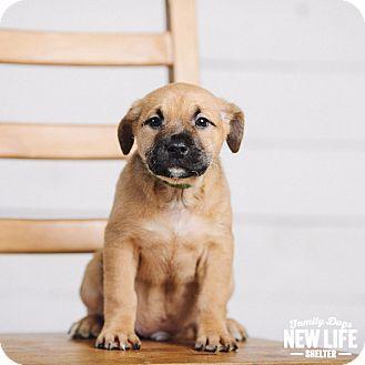 German Shepherd Dog/Pit Bull Terrier Mix Puppy for adoption in Portland, Oregon - Apple Jacks
