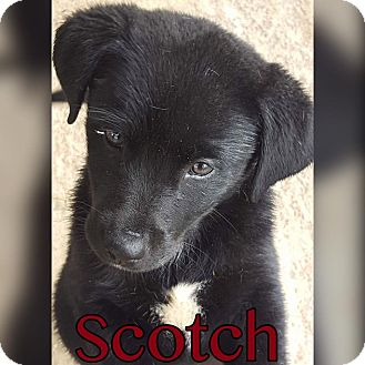Labrador Retriever Mix Puppy for adoption in Smithtown, New York - Scotch