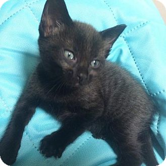 Siamese Kitten for adoption in Orlando, Florida - Cork