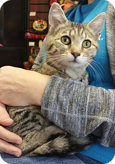 Domestic Shorthair Cat for adoption in Reston, Virginia - Joy