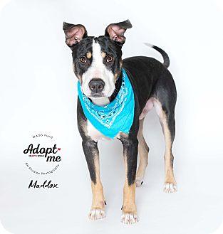 Adopt A Pet :: Maddox  - Houston, TX