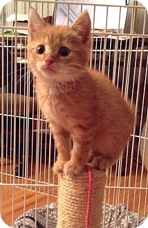 Domestic Shorthair Kitten for adoption in Clayton, New Jersey - RUSTY