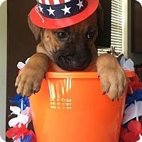 Adopt A Pet :: Callista's Puppy CAI - Murrells Inlet, SC