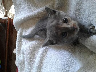 Domestic Shorthair Kitten for adoption in Maryville, Tennessee - Eve