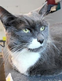 Domestic Shorthair/Domestic Shorthair Mix Cat for adoption in Waupaca, Wisconsin - Misty