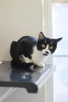 Domestic Shorthair/Domestic Shorthair Mix Cat for adoption in Covington, Louisiana - Janet