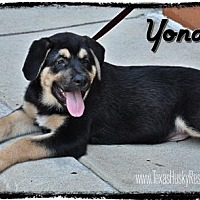 Adopt A Pet :: Yondu - Carrollton, TX
