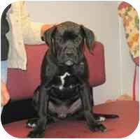 Boxer/Bullmastiff Mix Puppy for adoption in Lombard, Illinois - Melba