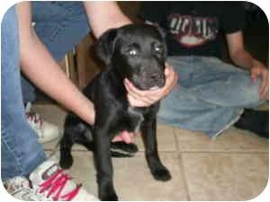 Labrador Retriever Mix Puppy for adoption in Collinsville, Oklahoma - George