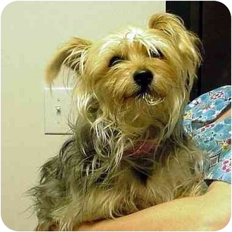 Yorkie, Yorkshire Terrier/Silky Terrier Mix Dog for adoption in Manassas, Virginia - Miley
