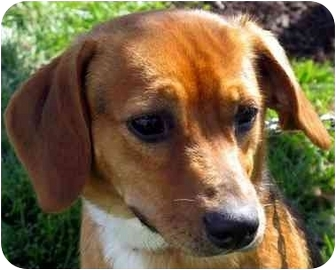 Beagle/Hound (Unknown Type) Mix Puppy for adoption in Overland Park, Kansas - Buster Brown