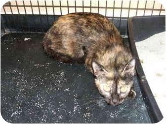 Domestic Shorthair Cat for adoption in Nashville, Georgia - Emma