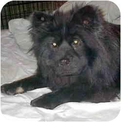 Chow Chow Mix Dog for adoption in Sacramento, California - Jenny