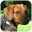 Photo 1 - Hound (Unknown Type)/German Shepherd Dog Mix Dog for adoption in Jacksonville, Florida - Meg