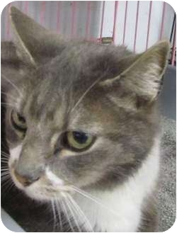 Domestic Shorthair Cat for adoption in Muskogee, Oklahoma - Whiskers