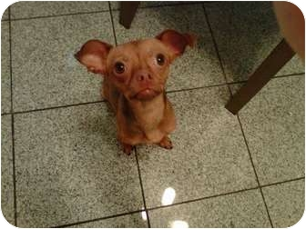 Chihuahua Dog for adoption in Oak Lawn, Illinois - Marvin
