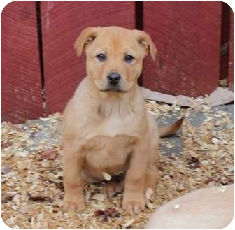 Labrador Retriever/Pit Bull Terrier Mix Puppy for adoption in Spring Valley, New York - Victor