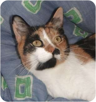 Calico Cat for adoption in Jenkintown, Pennsylvania - Rose