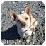 Photo 3 - Chihuahua/Corgi Mix Dog for adoption in Saanichton, British Columbia - Honey
