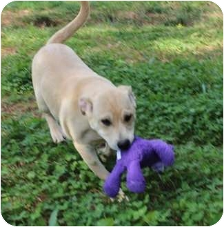 Labrador Retriever Mix Puppy for adoption in Foster, Rhode Island - M&M