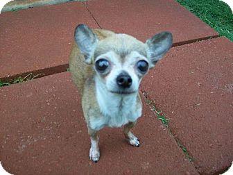 Chihuahua Mix Dog for adoption in Edmond, Oklahoma - Liddie Lou