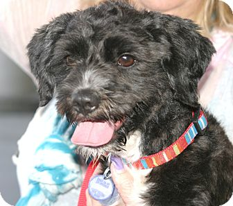 Poodle (Miniature)/Terrier (Unknown Type, Small) Mix Dog for adoption in Santa Ana, California - Frankie